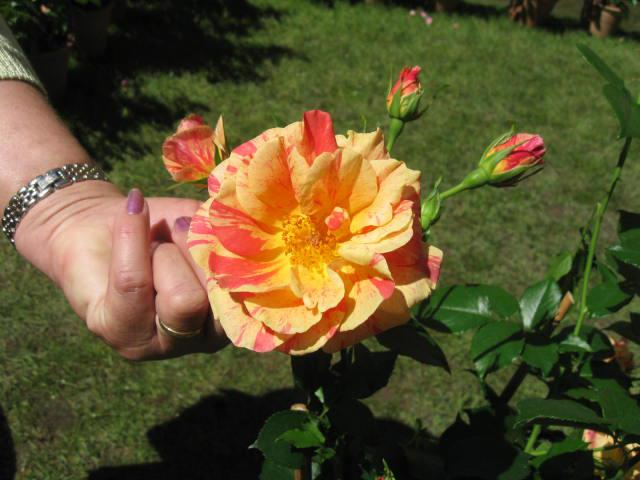 altera rosa 2010 710001arpege