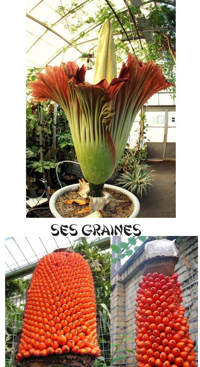 La plus grosse fleur au Monde 735446grainesdumorphophallusTitanumAraceae