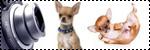Forum Chihuahua : Mini Dog's Chihuahua 785890photos_elevage