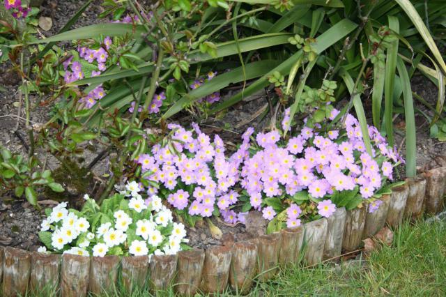Quelques floraisons 797973primevre