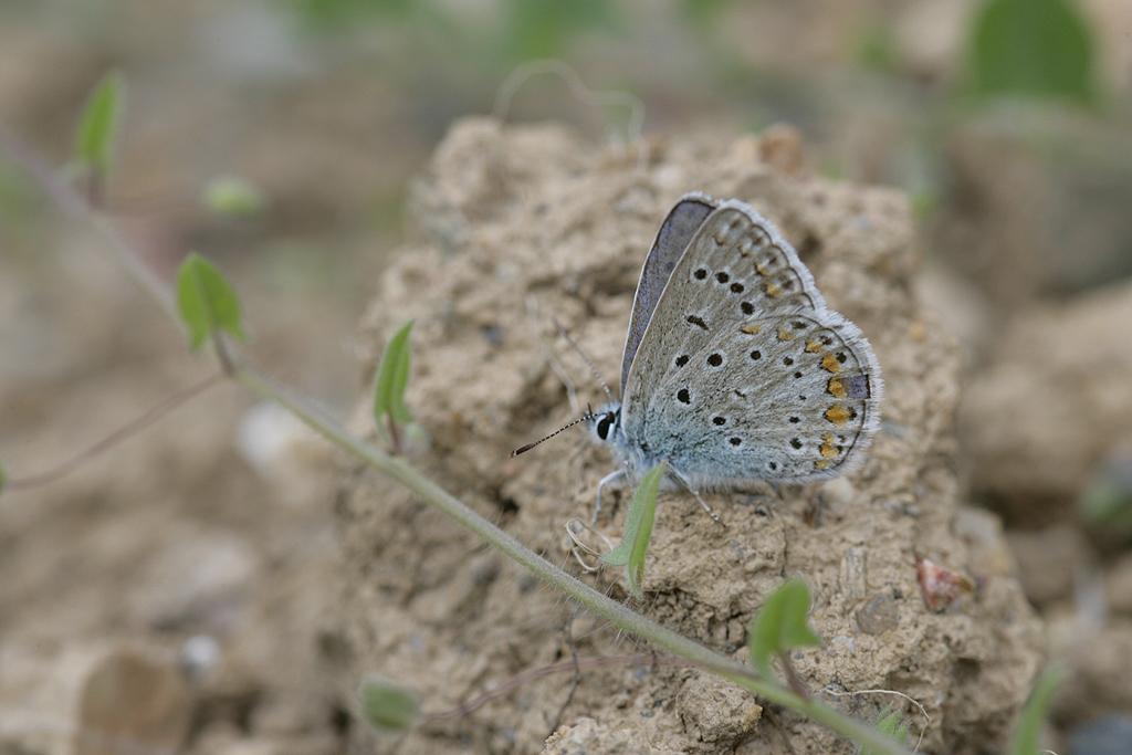 [Melitaea parthenoides & divers] damned damier 938221Asp