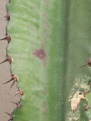 Cactus points noirs 9498382