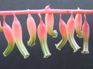 GASTERIA   bicolor en fleur Mini_390197Fev2011687
