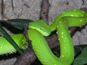Serpent vert??? Mini_942222Trimeresurus_albolabris_2