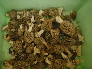 Rubrique mycologique - Page 7 Mini_952337IMGP0151
