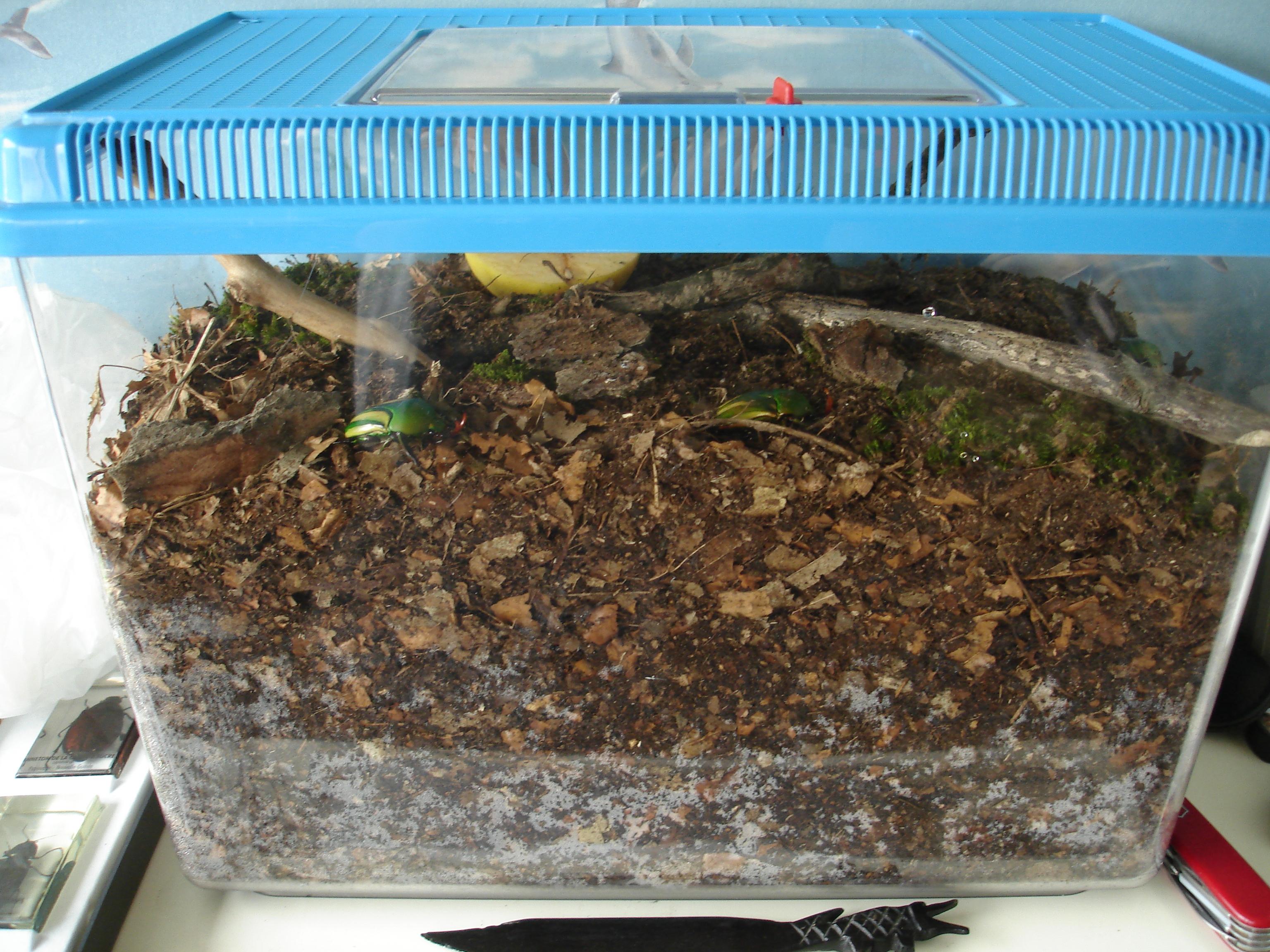 élevage Eudicella 114609DSC06157