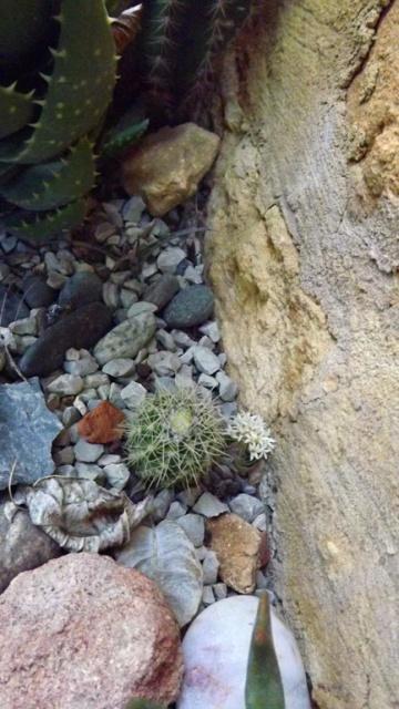 rusticité des cactus et succulentes en extérieur - listes - Page 2 118181DSCF0743