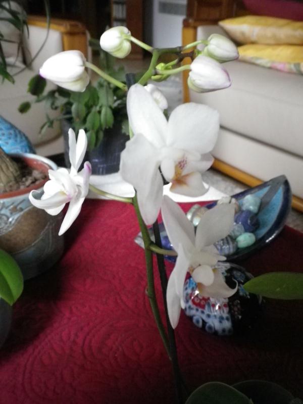 Mes orchidées... par Stape73 - Page 3 120921PhalaenopsisIMGP2399