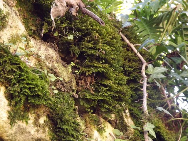 flore des vieux murs, rochers  et rocailles naturelles - Page 4 123934mousse3
