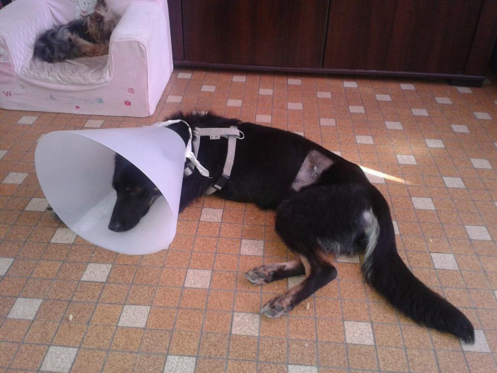 > Mika, un amour de petite chienne, née en mai 2011 - Adoptée 124358LastrilisationdeMika