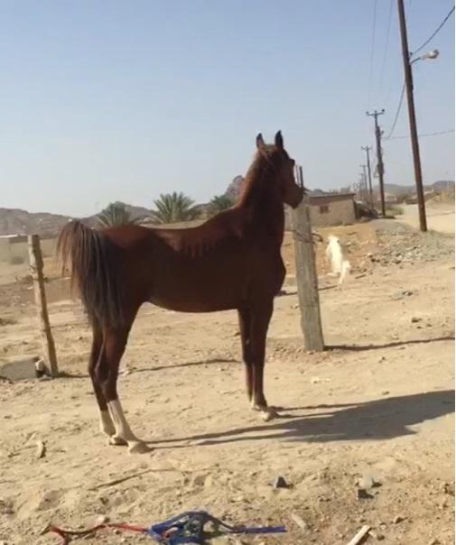 حصان شعبي عربي للبيع 127656441