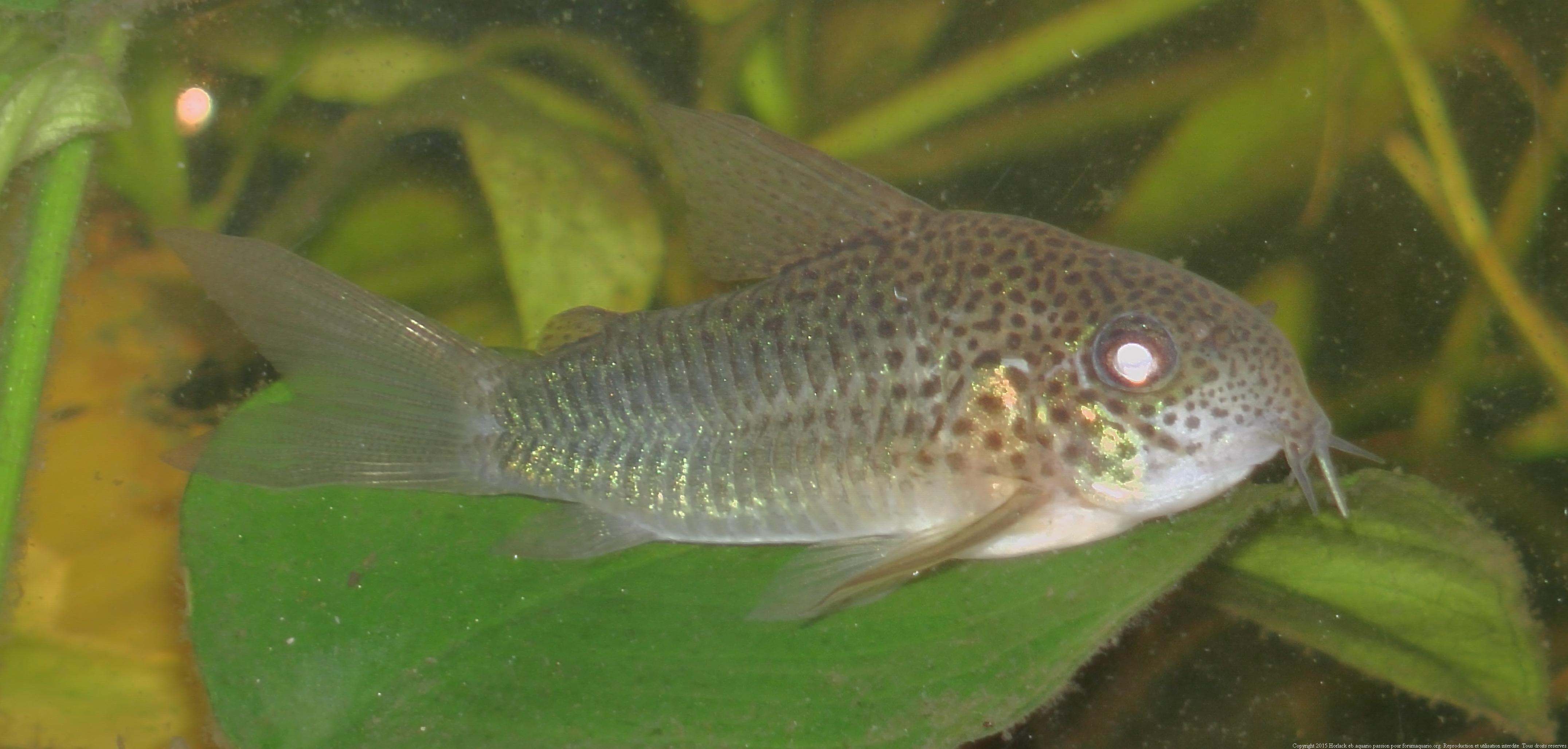 Ménagerie, plus de 3.000L d'aquariums - Page 2 135874CorydorasSimilis0092
