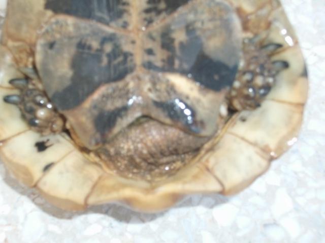 nouvelle tortue ! 138177DSCF1296