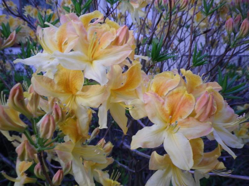 avril, jardin fébrile - Page 7 142093AzaleaIMGP4486