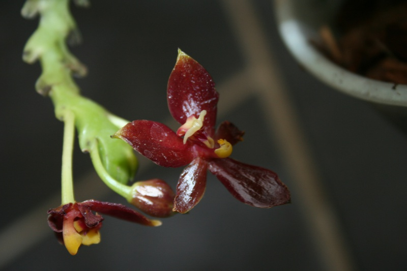 phalaenopsis cornu cervi var chattaladae - Page 2 143349IMG9118