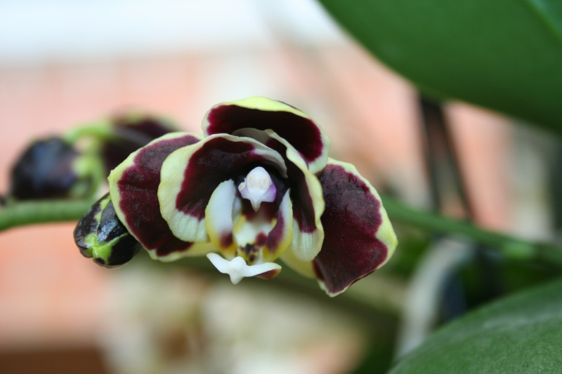phalaenopsis costarica 146616IMG8827