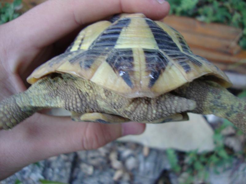 probleme sex tortue terrestre hermann 160331DSC01746
