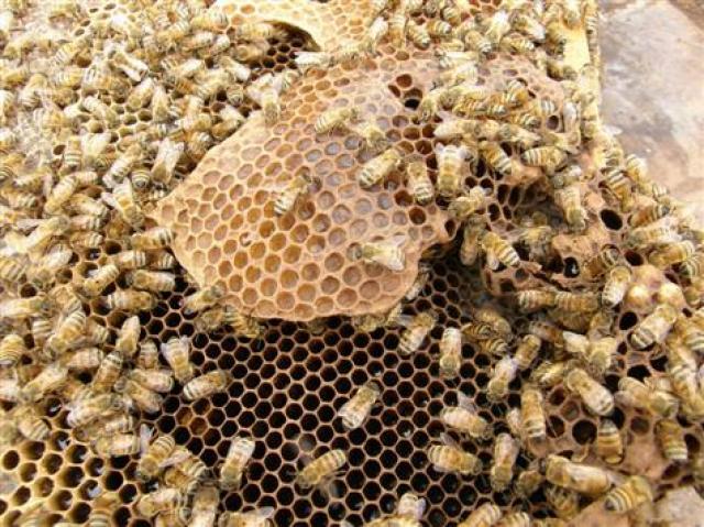 اختفاء النحل يهدد بكارثة إنسانية 160674bees__6__513294849