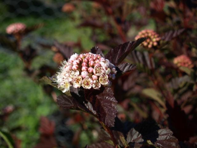 physocarpus red baron 164985P5177054