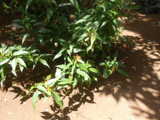 fleur de cuba a identifier  166040DSCN2130