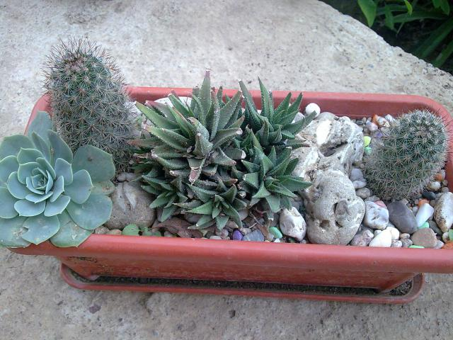Floraisons de succulentes et cactées - Page 2 173220Photo038