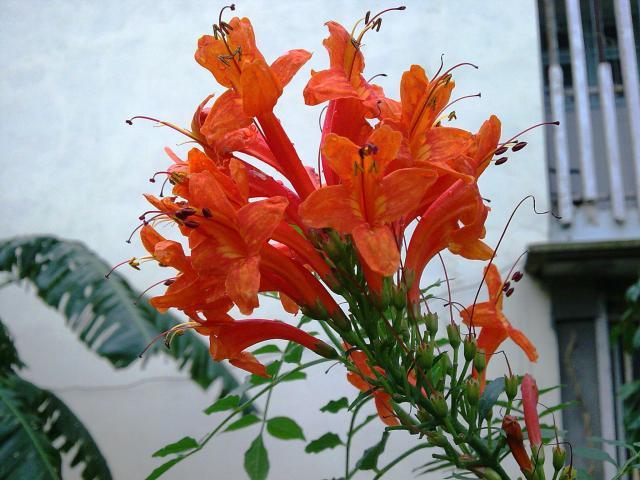 Floraisons de novembre 17443310.Tecomma