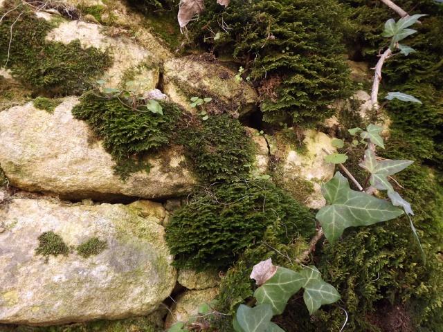 flore des vieux murs, rochers  et rocailles naturelles - Page 4 179093mousse2