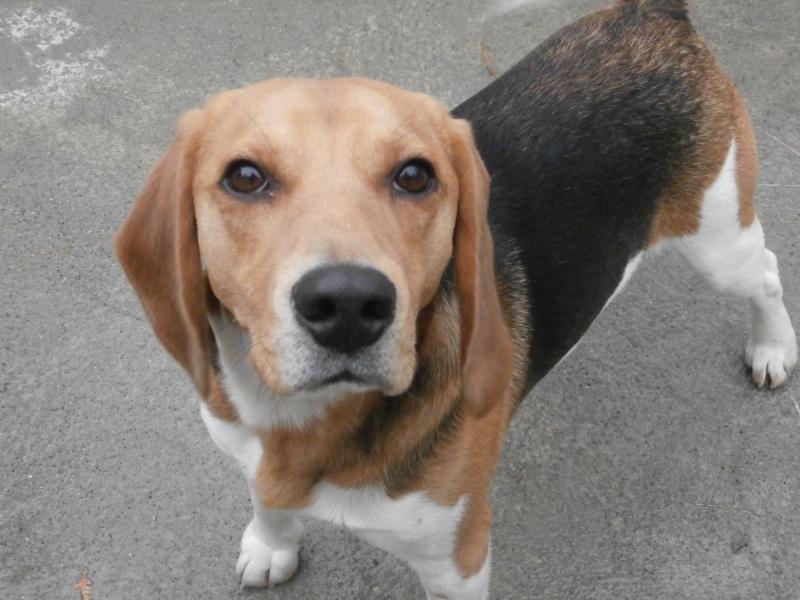 BILL (mâle croisé beagle) 179219P2212409