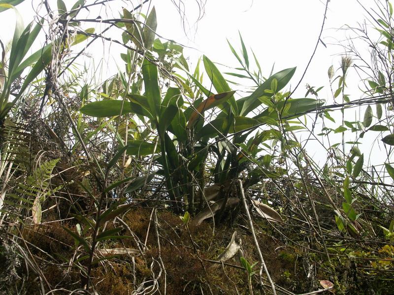 Eriopsis biloba - Page 2 179645EriopsisbilobainsituEquateur