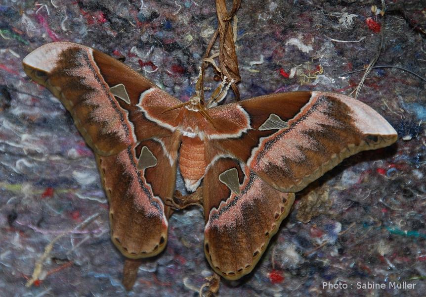 aurota - Rothschildia aurota 186341ImagofemelleRothschildiaaurota