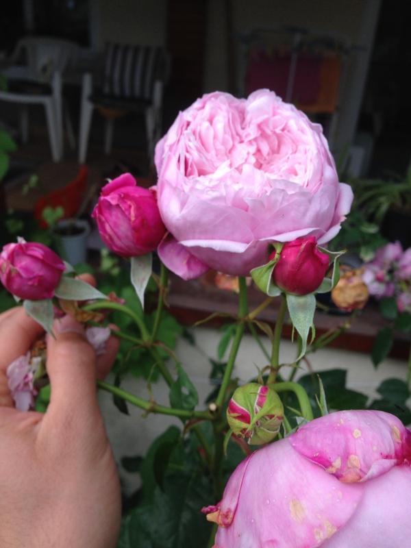 le royaume des rosiers...Vive la Rose ! - Page 13 188439IMG5674