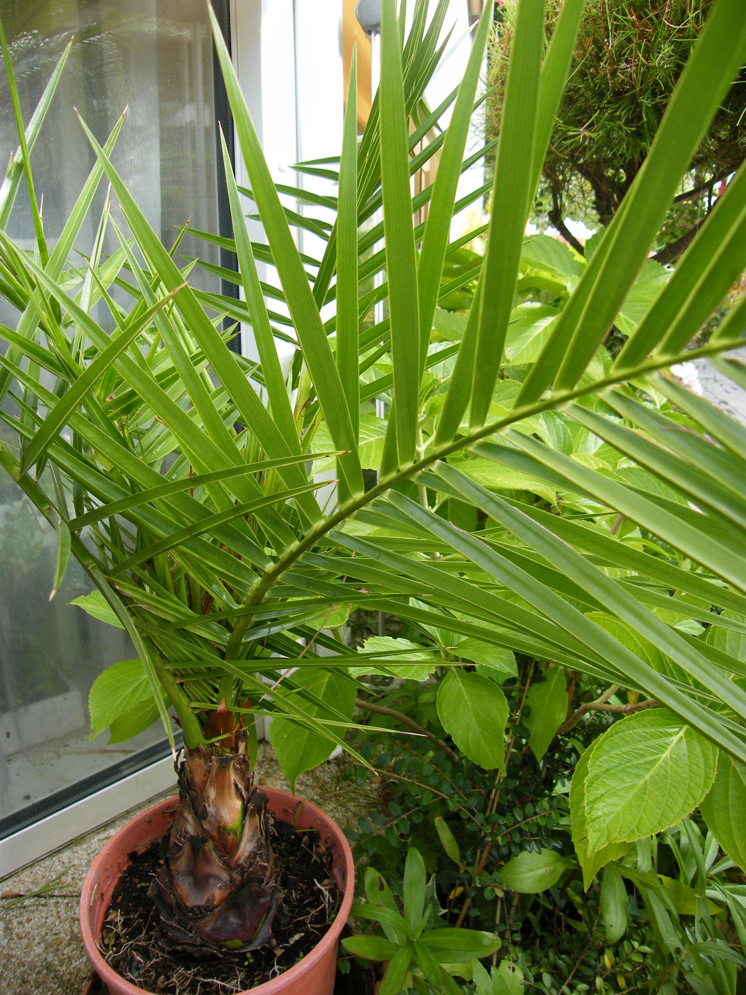 IDENTIFICATION Palmier 4 (Phoenix canariensis ) 189175Aout2011179