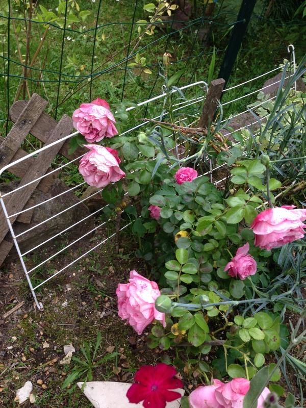 le royaume des rosiers...Vive la Rose ! - Page 13 195601IMG5662