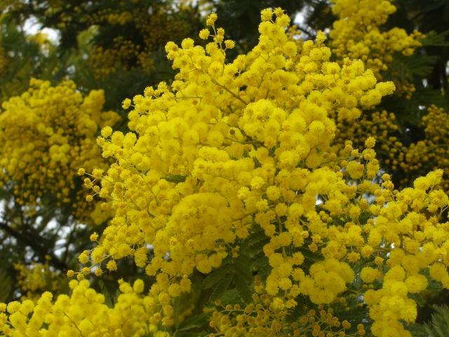 ça commence a fleurir...(Mimosa, Acacia dealbata) - Page 4 197227DSC05229