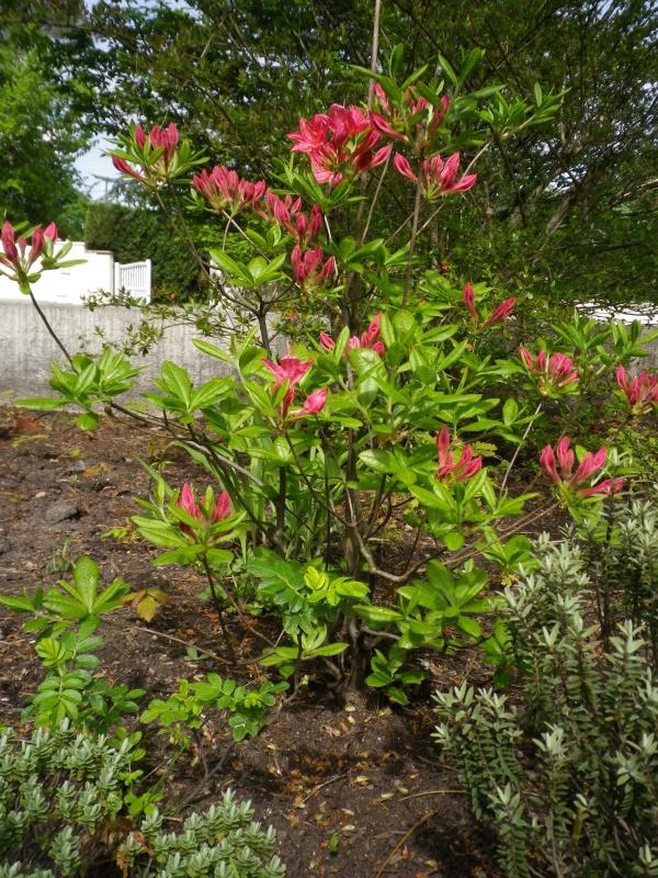 avril, jardin fébrile - Page 5 203644IMGP4336