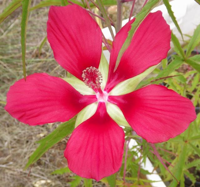 Hibiscus des marais rustiques - sujet général - Page 2 204136hibiscuscoccineus1