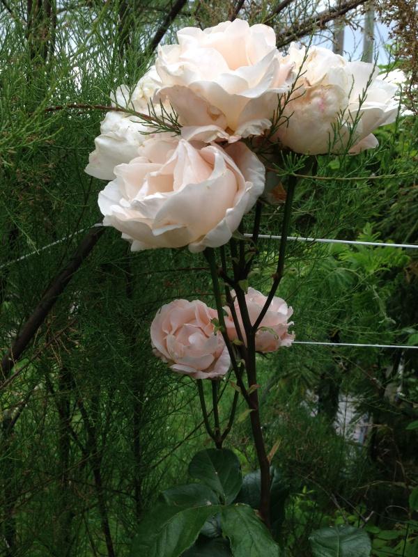 le royaume des rosiers...Vive la Rose ! - Page 13 205877IMG5659