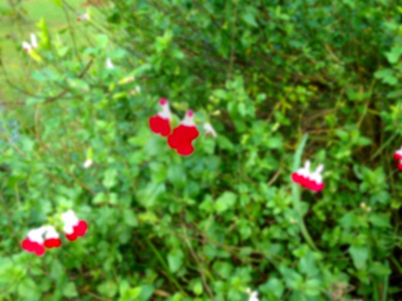 Salvia - les floraisons du moment - Page 13 207359IMG0974bis