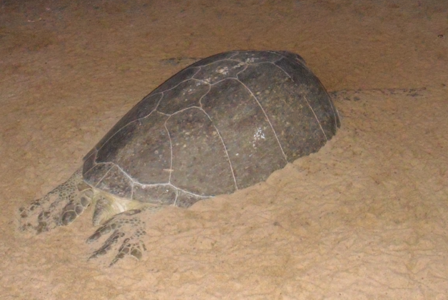 Identification d'une Tortue trouvée en Guyane  208233Tortue1