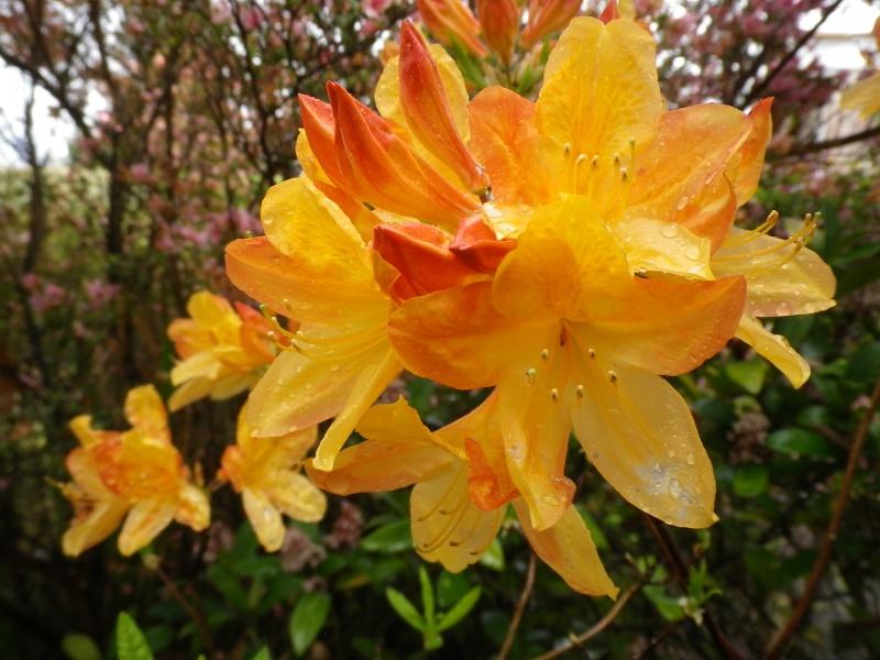 avril, jardin fébrile - Page 4 216392IMGP4052
