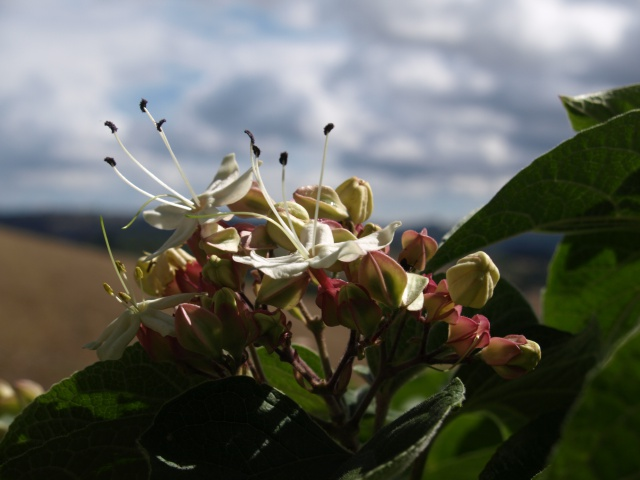clerodendron trichotomum 216989P9081105