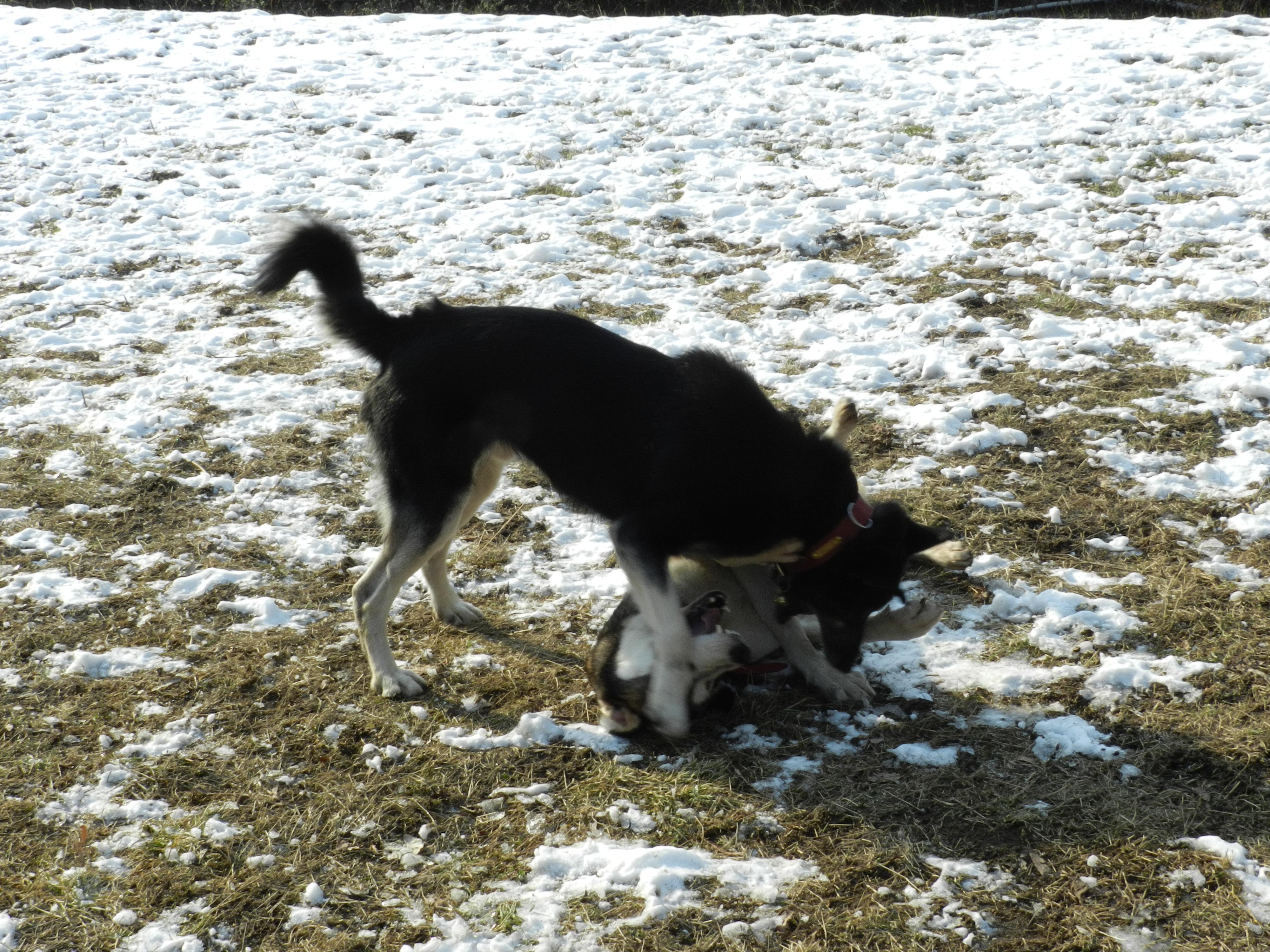 Link Berger X Husky mâle 5 ans gris et blanc PAR:38 ADOPTE 219176DSCN2049