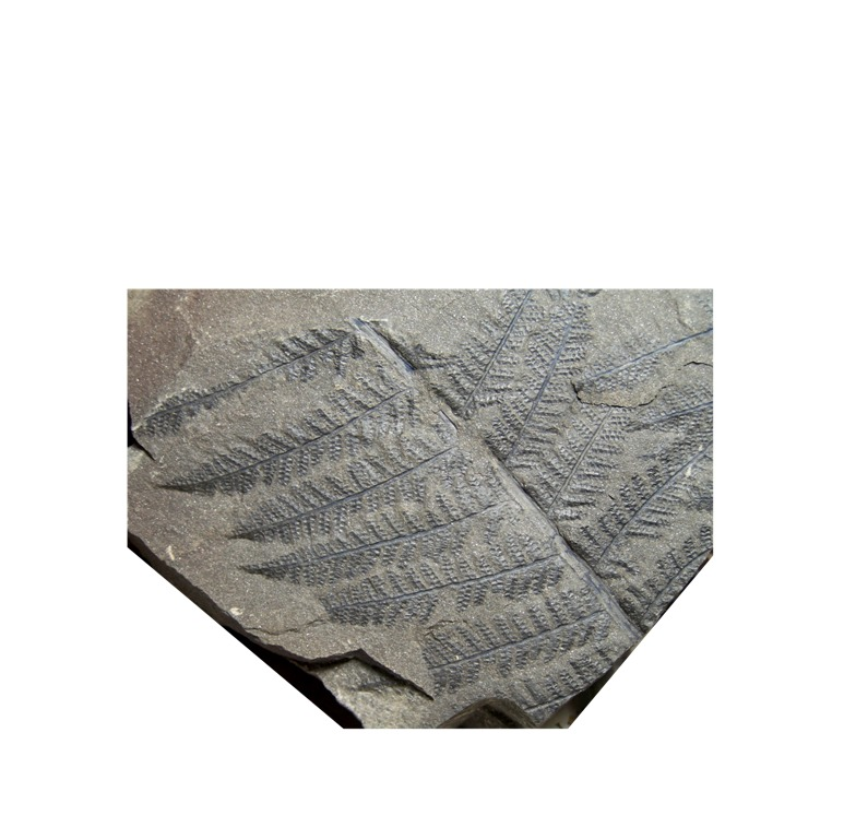Senftenbergia grunerii 220117Copiade1002719