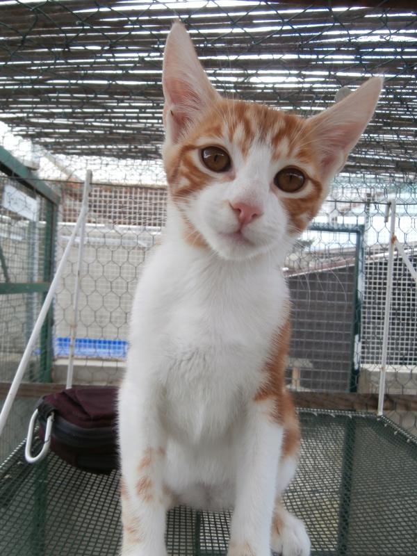 GATO (chaton mâle roux et blanc) 220900P8161592
