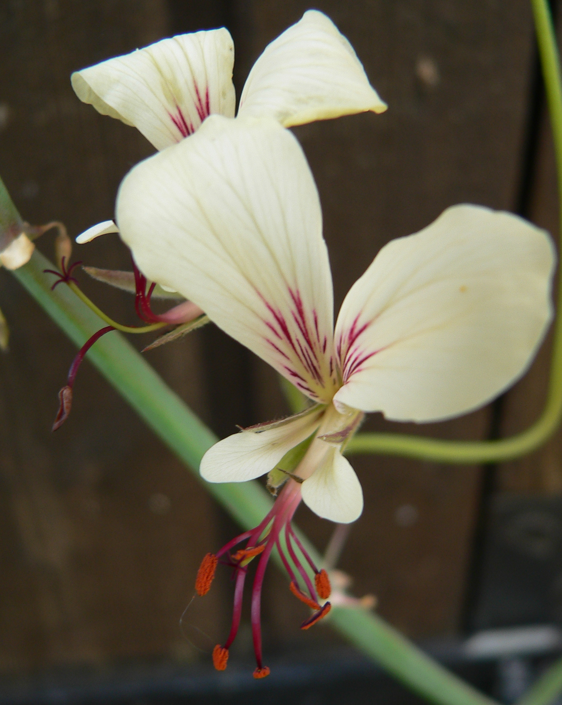 Pelargonium tetragonum - Page 2 221337Pelargotetragona