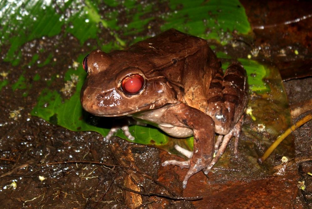 15 jours dans la jungle du Costa Rica 226837Leptodatyles1r