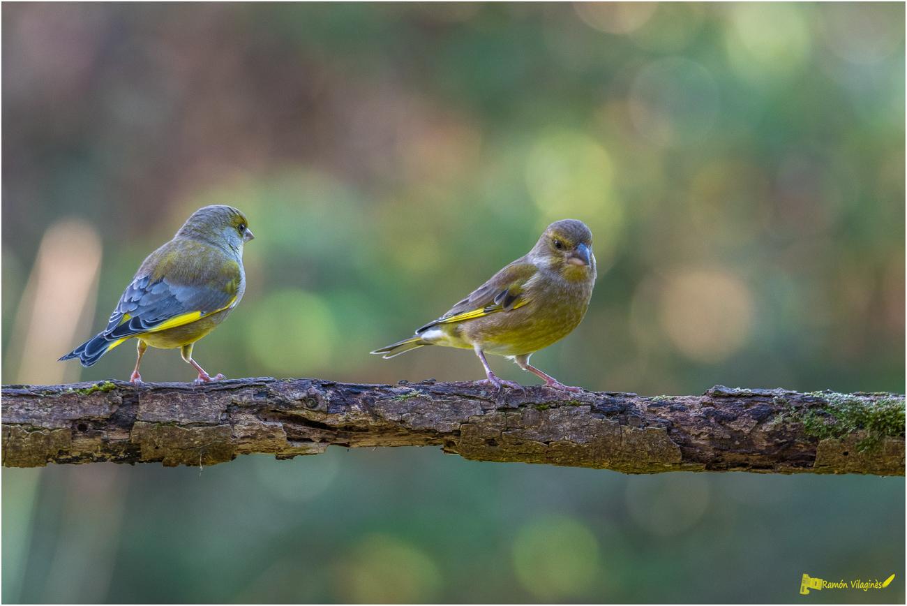 Petits oiseaux.... 228322D500685Modifier