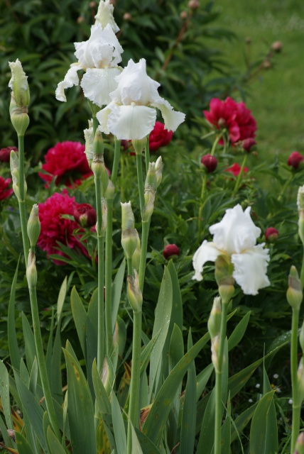 Associer nos iris à d'autres plantes pour de beaux massifs - Page 2 240135008