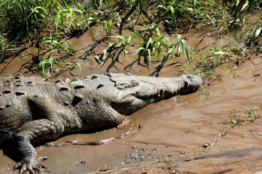 15 jours dans la jungle du Costa Rica 243811croco2r