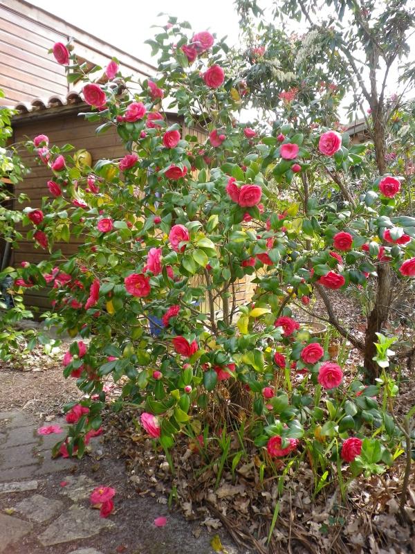 Quelques floraisons 245677CamelliaWilliamThobyIMGP2579